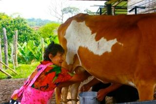 milking-cow.jpg