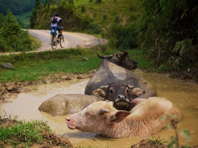 Vietnamese mountain biker and water buffaloes